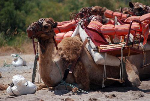 Kamele warten auf reitfreudige Touristen