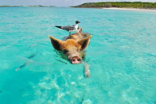 Die schwimmenden Schweine | Foto: larsen9236, pixabay.com, CC0 Public Domain