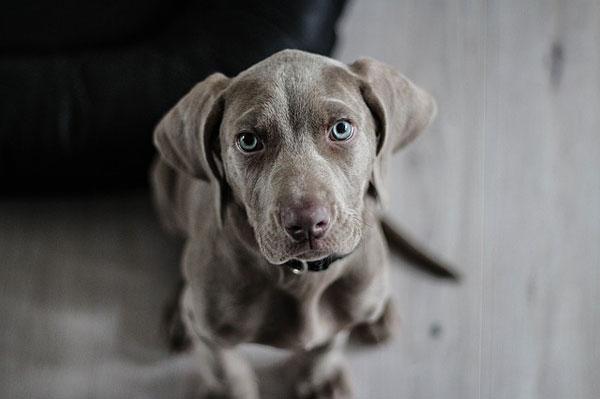 Hund mit süßem Blick | Foto: ElvisClooth, pixabay.com, Pixabay License